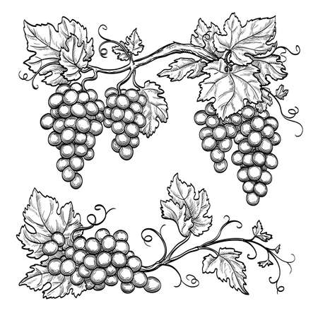 Grape branches isolated on white background. Hand drawn vector illustration.