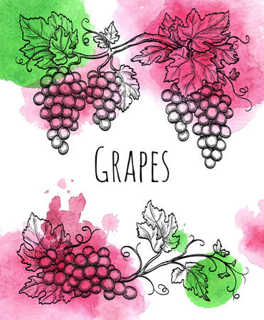 grapevine: Vector illustration of grapevine. Hand drawn vector illustration. Watercolor background.