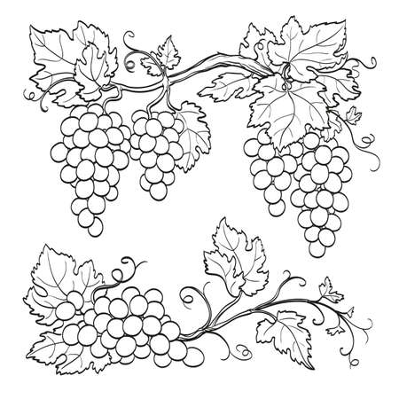 Grape branches  isolated on white background. Line sketch. Hand drawn vector illustration. Ilustração