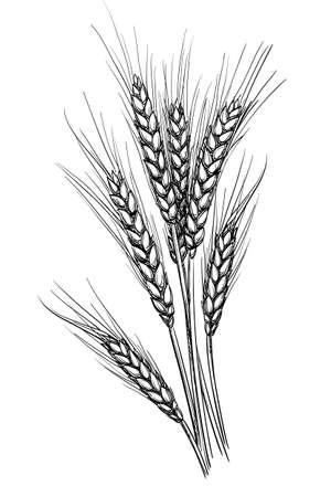 Hand getekende vectorillustratie van tarwe. Geïsoleerd op een witte achtergrond. Retro stijl. Vector Illustratie