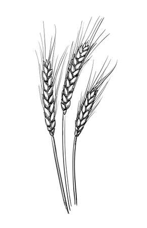 Hand drawn vector illustration of wheat. Isolated on white background. Retro style.
