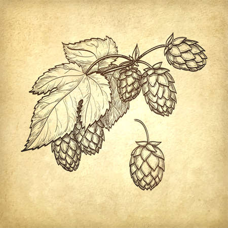 Hand drawn vector illustration of hops on old paper background. Hand drawn vector illustration. Retro style.