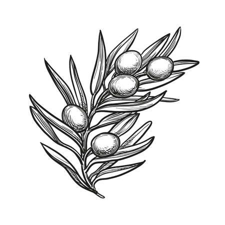 オリーブの枝のベクトル イラスト