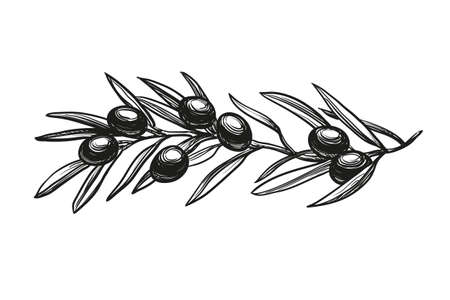 vector illustration of olive branch