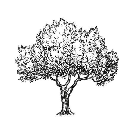 vector illustration of olive tree