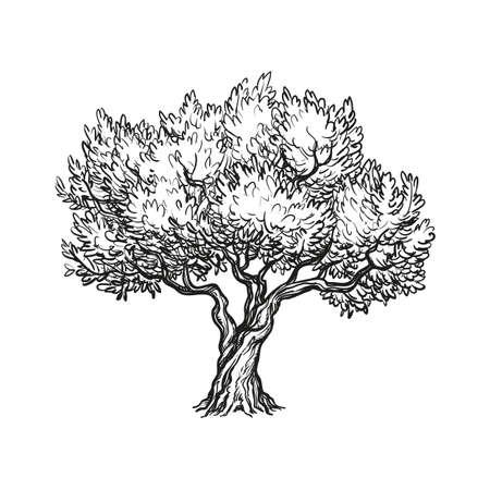 vector illustratie van de olijfboom Vector Illustratie