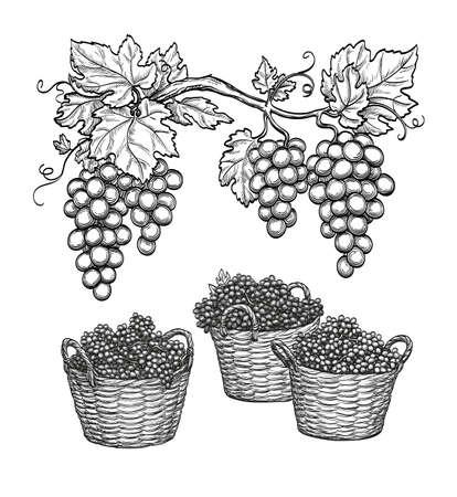 Grape branches and grapes in baskets. Vektoros illusztráció