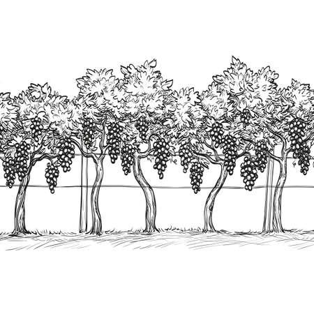 Hand drawn vector illustration of vineyard. Vektoros illusztráció