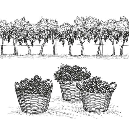 distillery: Vineyard and rape branches and grapes in basket.