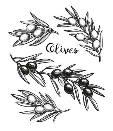 Hand drawn vector illustration of olive branches.
