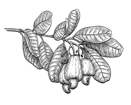 Ink sketch of cashew branch.