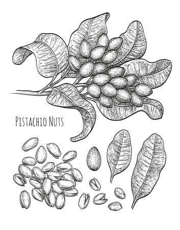 phytology: Pistachio nuts set. Ink sketch. Hand drawn vector illustration. Isolated on white background. Retro style.