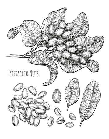 Pistachio nuts set. Ink sketch. Hand drawn vector illustration. Isolated on white background. Retro style. Ilustração Vetorial