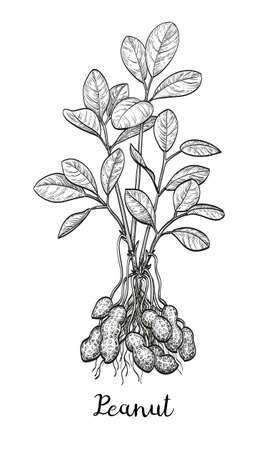 Illustration vectorielle de la plante d'arachide. Isolé sur fond blanc Style vintage.