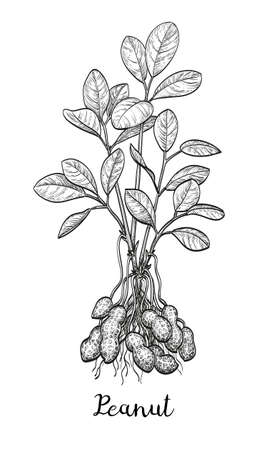 nutshell: Vector illustration of peanut plant. Isolated on white background. Vintage style.