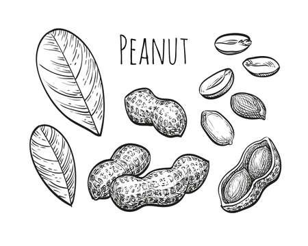 Pinda set. Inktschets van noten. Hand getrokken vectorillustratie. Geïsoleerd op witte achtergrond Retro stijl.