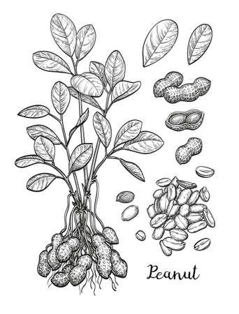 Grande set di arachidi. Archivio Fotografico - 80986735