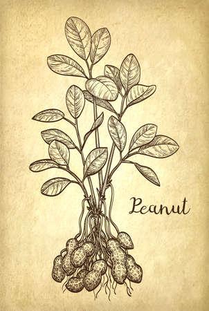nutshell: Vector illustration of peanut plant. Illustration
