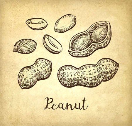 phytology: Ink sketch of peanuts