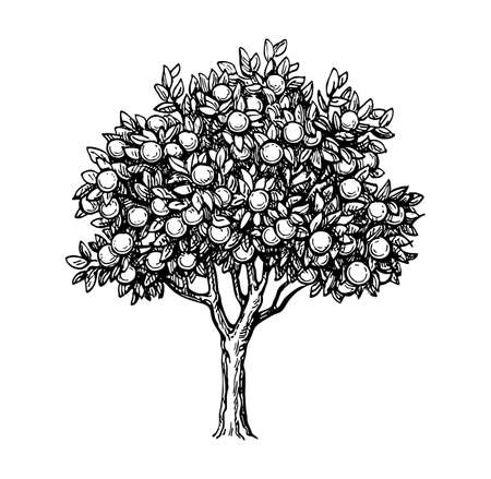 phytology: Illustration of orange tree
