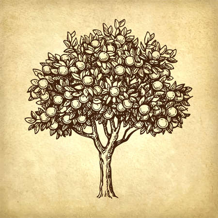 phytology: Hand drawn vector illustration of orange tree. Old paper background. Retro style. Illustration