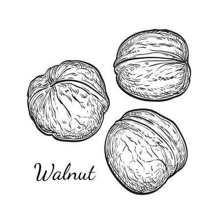 Ink sketch of walnuts Stock Vector - 77770506