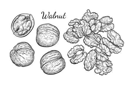 Walnuts sketch set. Ilustração