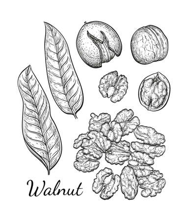 Walnuts set. Ink sketch of nuts. Hand drawn vector illustration. Isolated on white background. Retro style. Illustration
