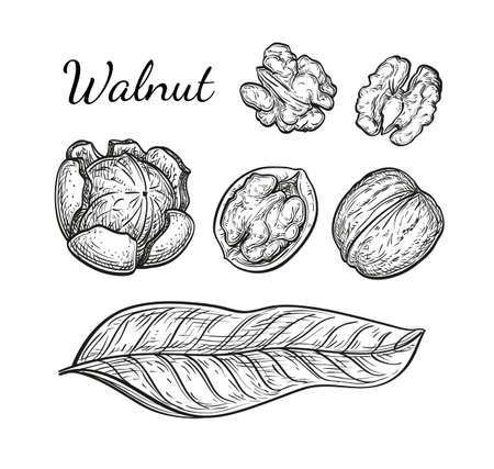 phytology: Walnuts set. Ink sketch of nuts. Hand drawn vector illustration. Isolated on white background. Retro style. Stock Photo