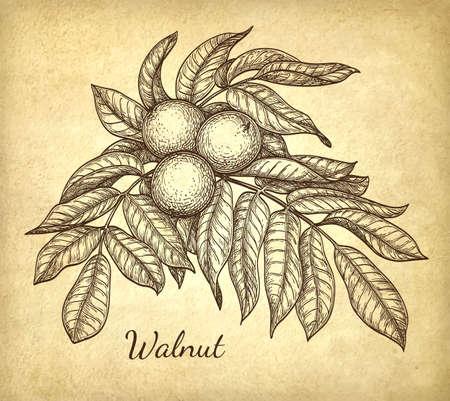phytology: Ink sketch of walnut branch.