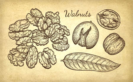 phytology: Ink sketch of walnuts