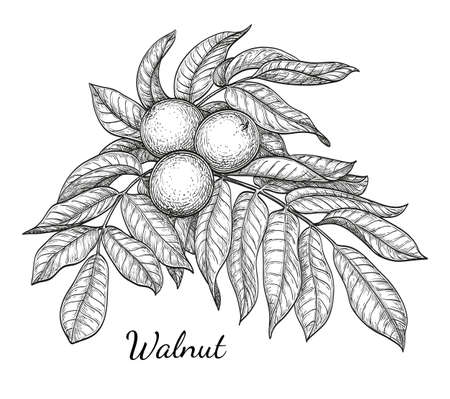 Ink sketch of walnut branch. Isolated on white background. Hand drawn vector illustration. Retro style.