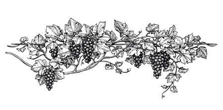 手には、ぶどうのベクトル イラストが描かれました。つるの分離の白い背景をスケッチします。  イラスト・ベクター素材