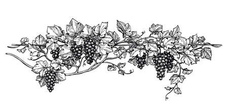 Hand drawn vector illustration of grapes. Vine sketch isolated on white background.