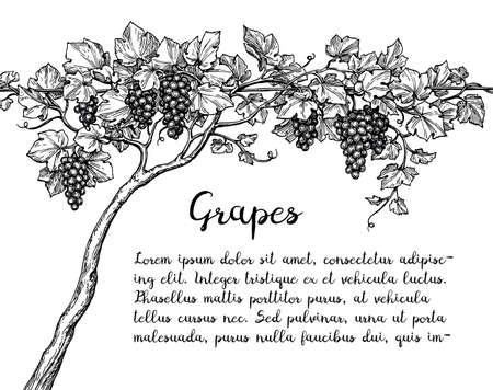 Grapevine ink sketch Vektoros illusztráció