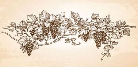 Hand drawn vector illustration of grapes. Vine sketch on old paper background. Vintage style. 向量圖像