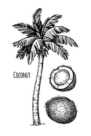 Coconut and palm tree Çizim