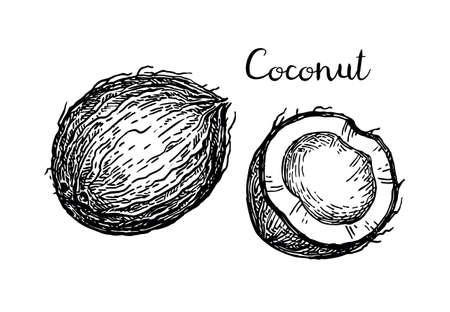 Vector illustration of coconut.