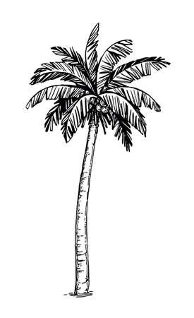 Coconut palm tree Illustration