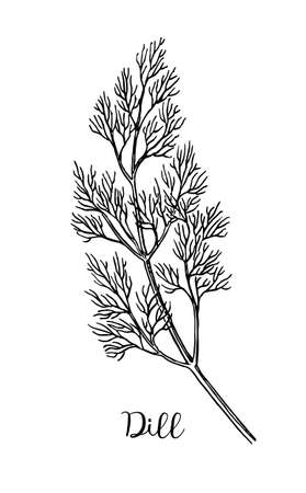 Dill ink sketch. Isolated on white background. Hand drawn vector illustration. Retro style. Banco de Imagens - 81695344