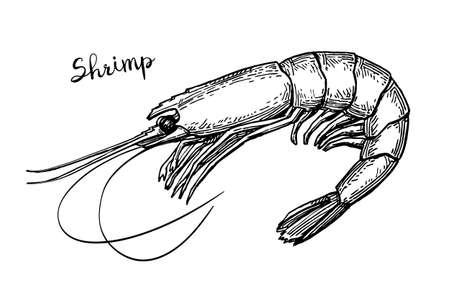 Shrimp ink sketch.