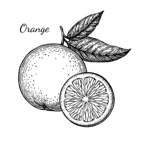 Schizzo di inchiostro arancione. Isolato su sfondo bianco Illustrazione vettoriale disegnato a mano Stile retrò. Vettoriali