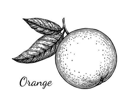 Ink sketch of orange. Isolated on white background. Hand drawn vector illustration. Retro style. Vettoriali