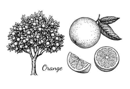 オレンジセット。白い背景手描きベクトルイラストレトロスタイルのインクスケッチに分離。  イラスト・ベクター素材