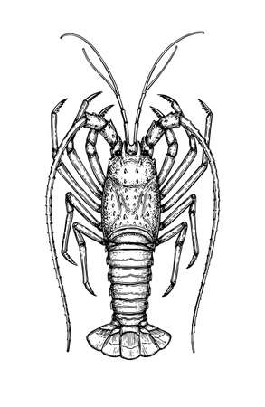 crawfish: Ink sketch of spiny lobster. Isolated on white background hand drawn vector illustration retro style.