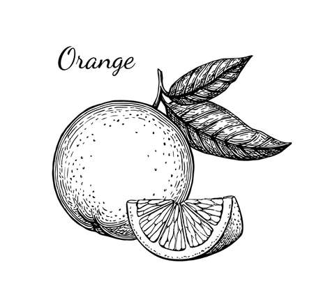 Orange set. Isolated on white background hand drawn vector illustration retro style ink sketch .