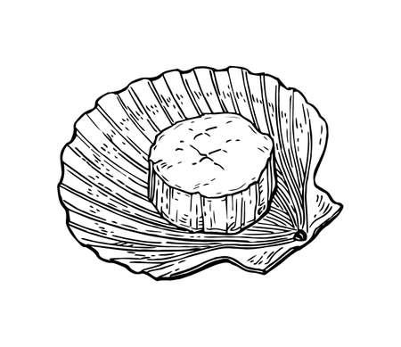 Bosquejo de tinta de vieiras. Aislado en el fondo blanco estilo retro dibujado a mano ilustración vectorial.