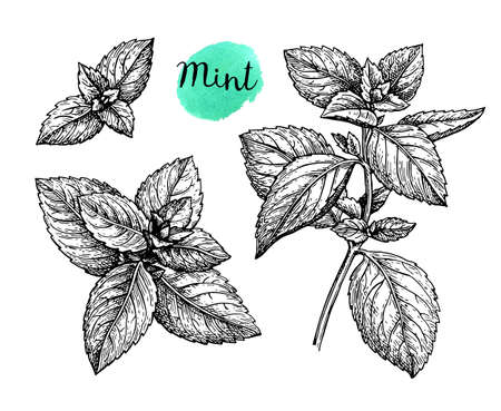 Mint set. Isolated on white background. Hand drawn vector illustration. Retro style ink sketch.