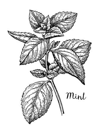 Ink sketch of mint. Isolated on white background. Hand drawn vector illustration. Retro style. Ilustração