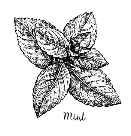 Ink sketch of mint. Isolated on white background. Hand drawn vector illustration. Retro style. Иллюстрация